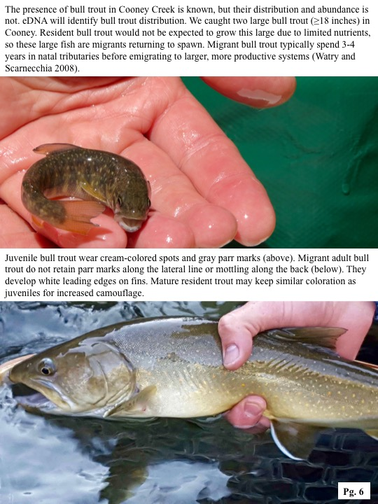 The presence of bull trout in Cooney Creek is known, but their distribution and abundance is not. eDNA will identify bull trout distribution.