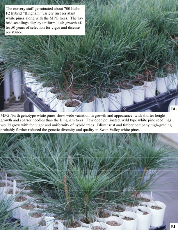 In Late 2009 We Delivered 201 Seeds From Nine White Pines To The Nursery 108 Seedlings Eight Mpg Pa Trees Survived
