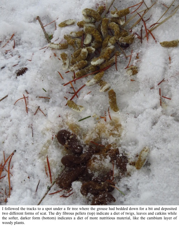 I followed the tracks to a spot under a fir tree where the grouse had bedded down for a bit and deposited two different forms of scat.