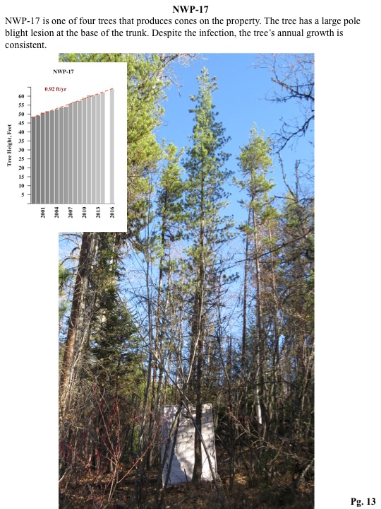 NWP-17 is one of four trees that produces cones on the property. The tree has a large pole blight lesion at the base of the trunk. Despite the infection, the tree's annual growth is consistent.