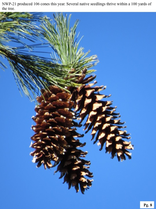 NWP-21 produced 106 cones this year. Several native seedlings thrive within a 100 yards of the tree.