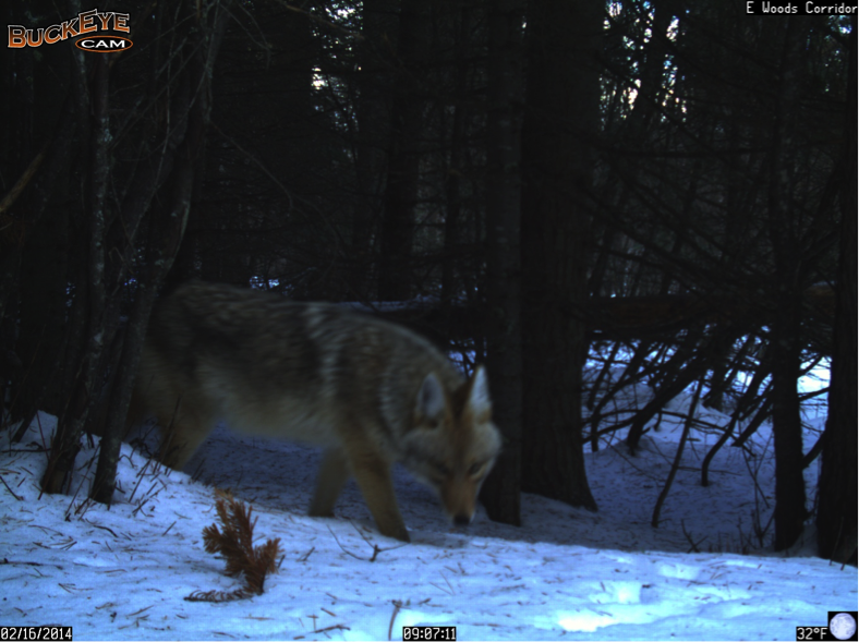 This coyote's eyes seem to pierce the buckeye camera.