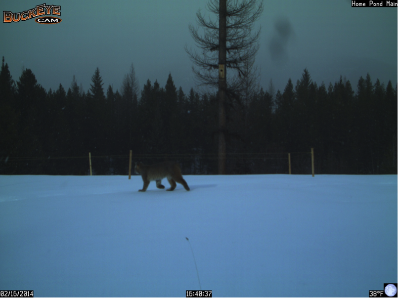 Here, the bobcat walks past the camera about an hour after I snowshoed through the same location.