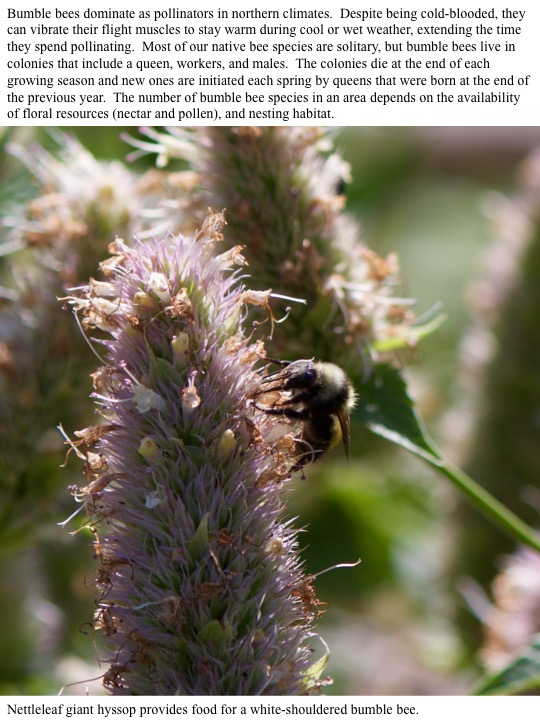 The number of bumble bee species in an area depends on the availability of floral resources (nectar and pollen), and nesting habitat.