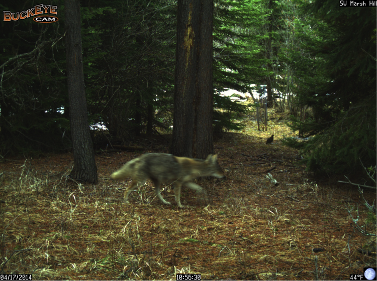This coyote passes near a ruffed grouse, which may have turned into the coyote's morning snack.
