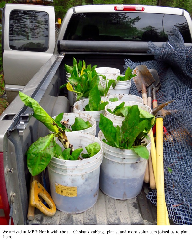 We arrived at MPG North with about 100 skunk cabbage plants, and more volunteers joined us to plant them.