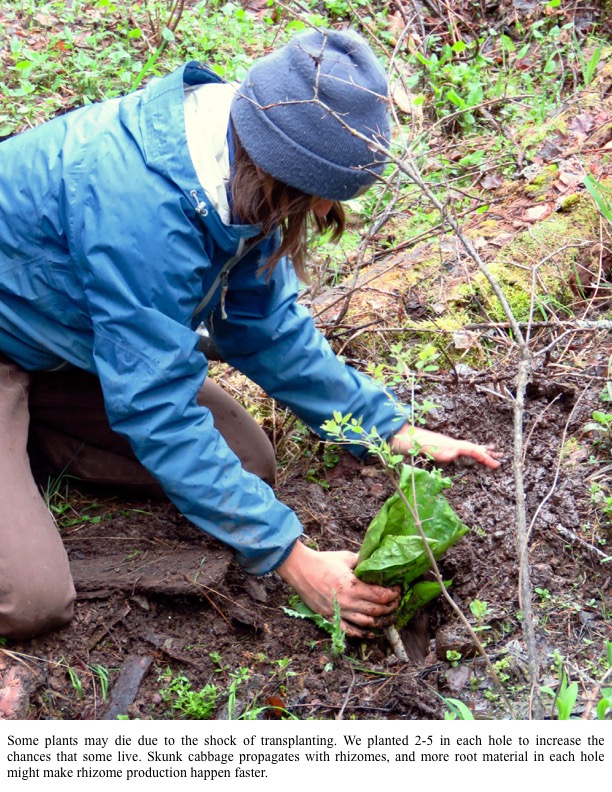 Some plants may die due to the shock of transplanting. We planted 2-5 in each hole to increase the chances that some live. Skunk cabbage propagates with rhizomes, and more root material in each hole might make rhizome production happen faster.