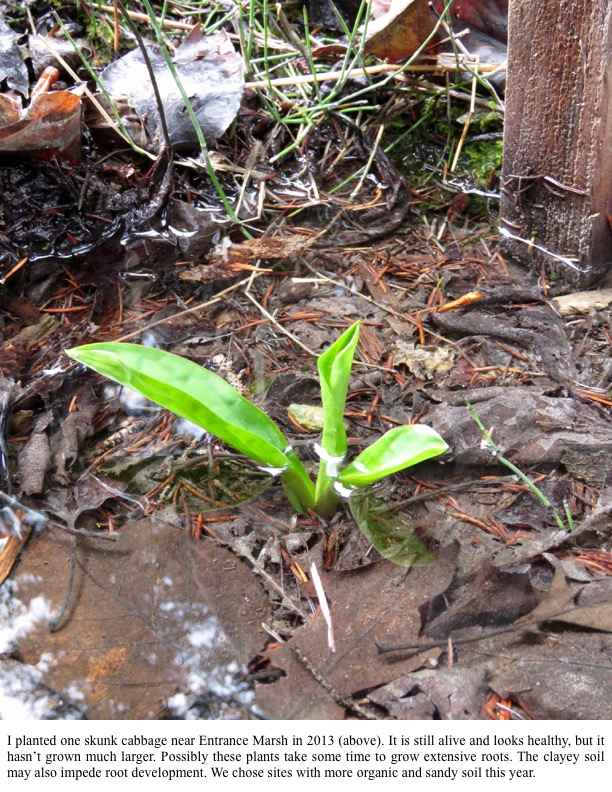 I planted one skunk cabbage near Entrance Marsh in 2013 (above). It is still alive and looks healthy, but it hasn't grown much larger. Possibly these plants take some time to grow extensive roots.