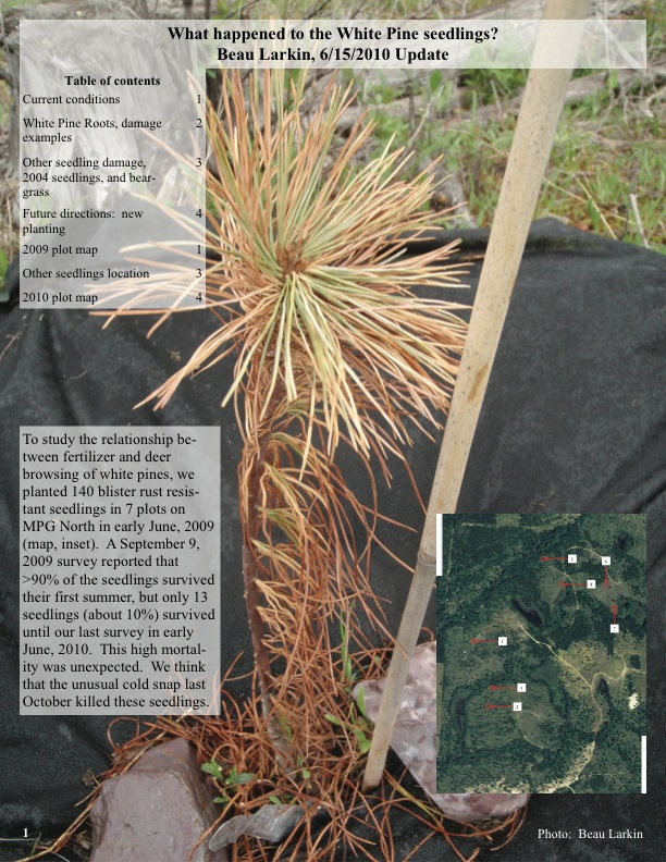 To study the relationship between fertilizer and deer browsing of white pines, we planted 140 blister rust resistant seedlings