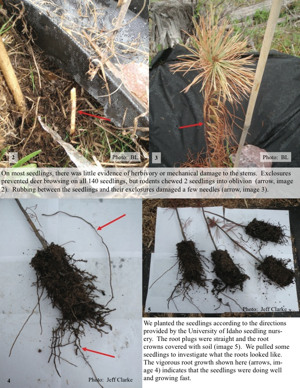 On most seedlings, there was little evidence of herbivory or mechanical damage to the stems.