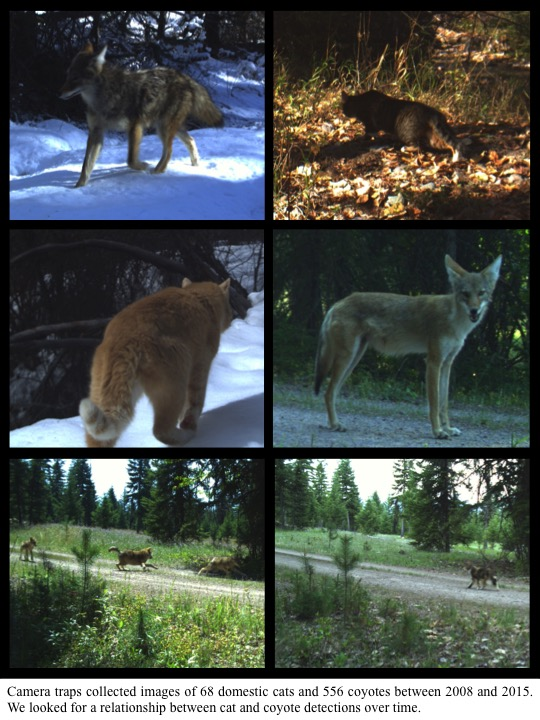 Camera traps collected images of 68 domestic cats and 556 coyotes between 2008 and 2015. We looked for a relationship between cat and coyote detections over time.