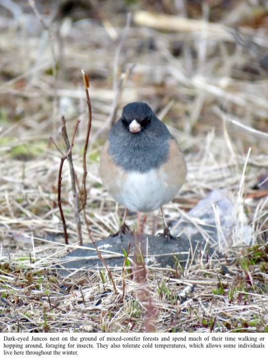 Dark-eyed Juncos nest on the ground of mixed-conifer forests and spend much of their time walking or hopping around, foraging for insects.