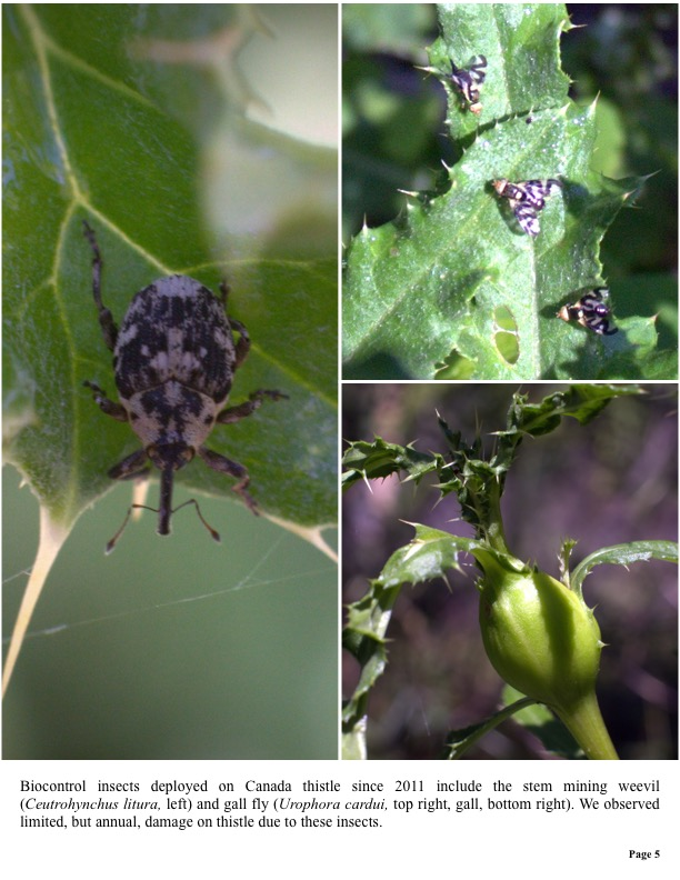 Biocontrol insects deployed on Canada thistle since 2011 include the stem mining weevil