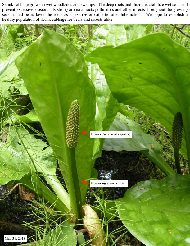 Skunk cabbage grows in wet woodlands and swamps. The deep roots and rhizomes stabilize wet soils and prevent excessive erosion.