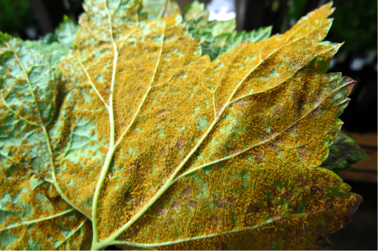 A single leaf may contain thousands of spores