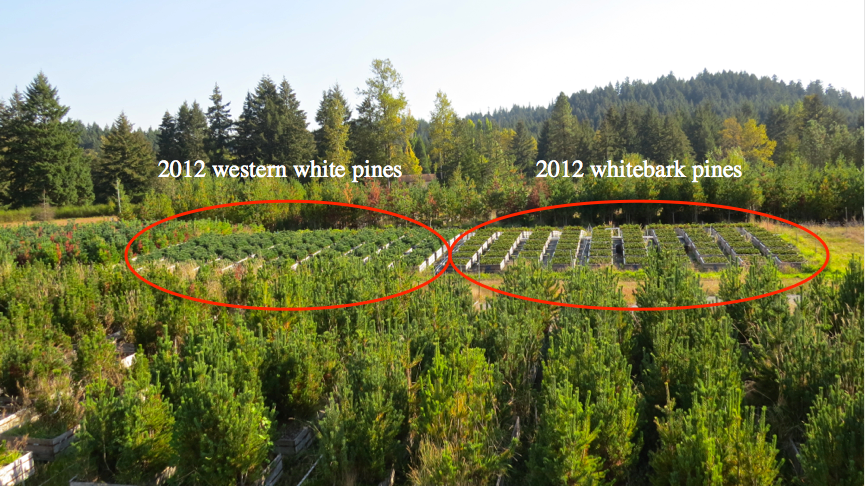 We also collected needle tissue from both whitebark pine and western white pine seedlings sown in 2012 and inoculated with blister rust in 2013