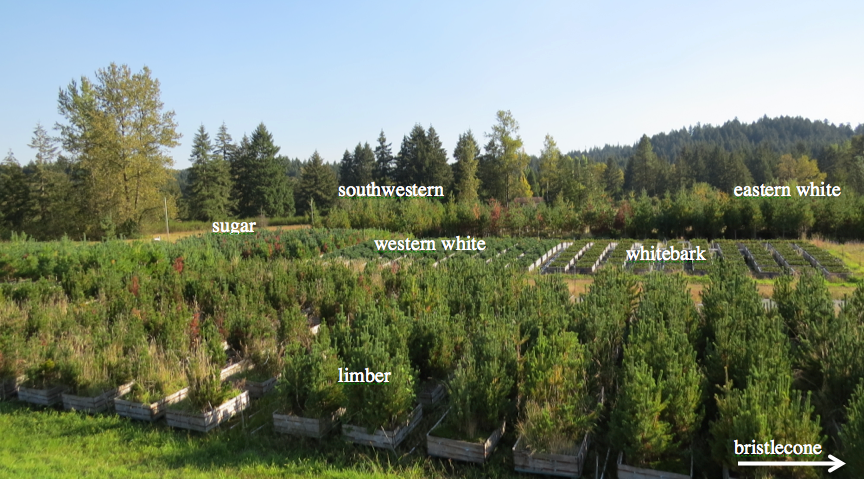 We sampled from 2014 needles of sugar, western white, whitebark, bristlecone, southwestern, limber, and eastern white pine trees to look for selection of foliar endophytes based on tree species.
