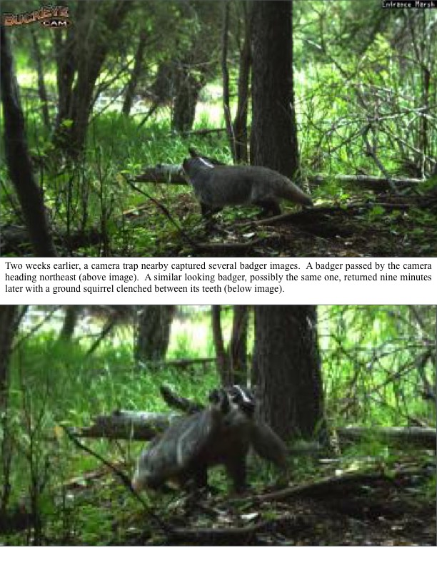 Two weeks earlier, a camera trap nearby captured several badger images.