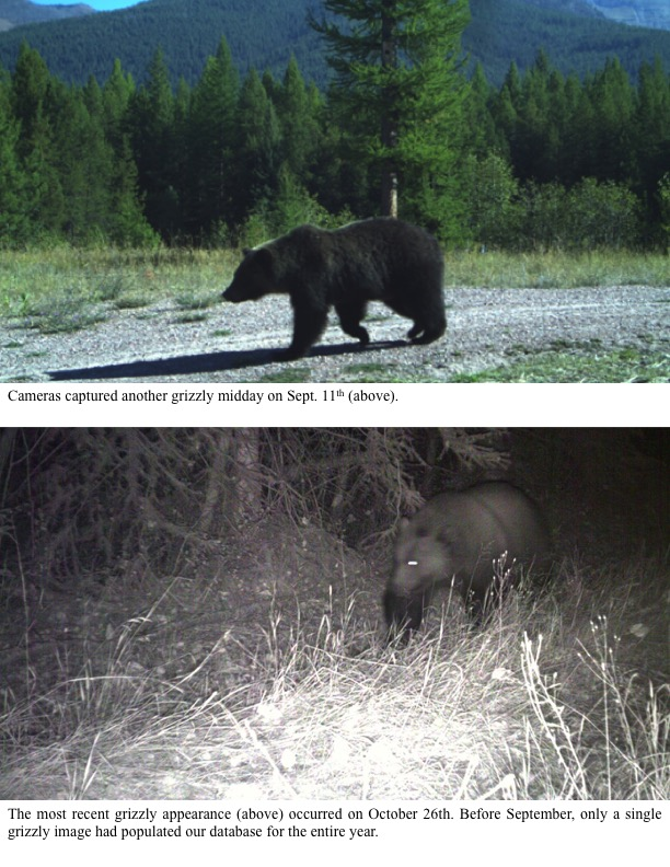The most recent grizzly appearance (above) occurred on October 26th. Before September, only a single grizzly image had populated our database for the entire year.
