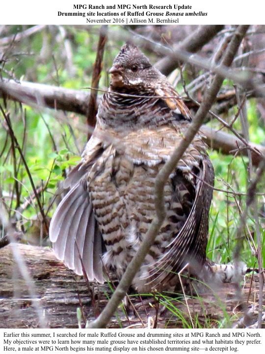Earlier this summer, I searched for male Ruffed Grouse and drumming sites at MPG Ranch and MPG North.
