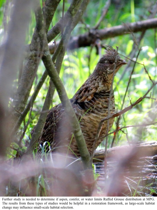 Further study is needed to determine if aspen, conifer, or water limits Ruffed Grouse distribution at MPG.
