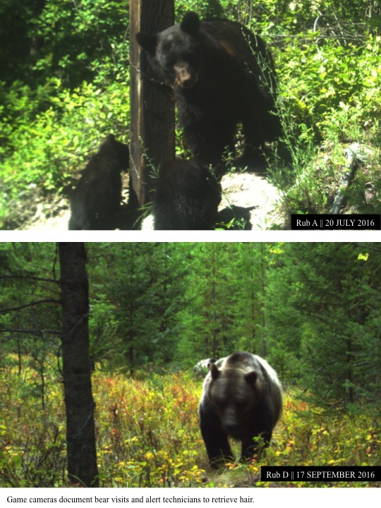Game cameras document bear visits and alert technicians to retrieve hair.