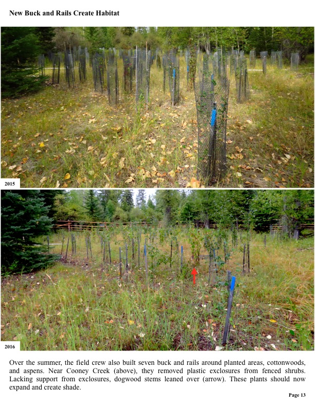 Over the summer, the field crew also built seven buck and rails around planted areas, cottonwoods, and aspens.