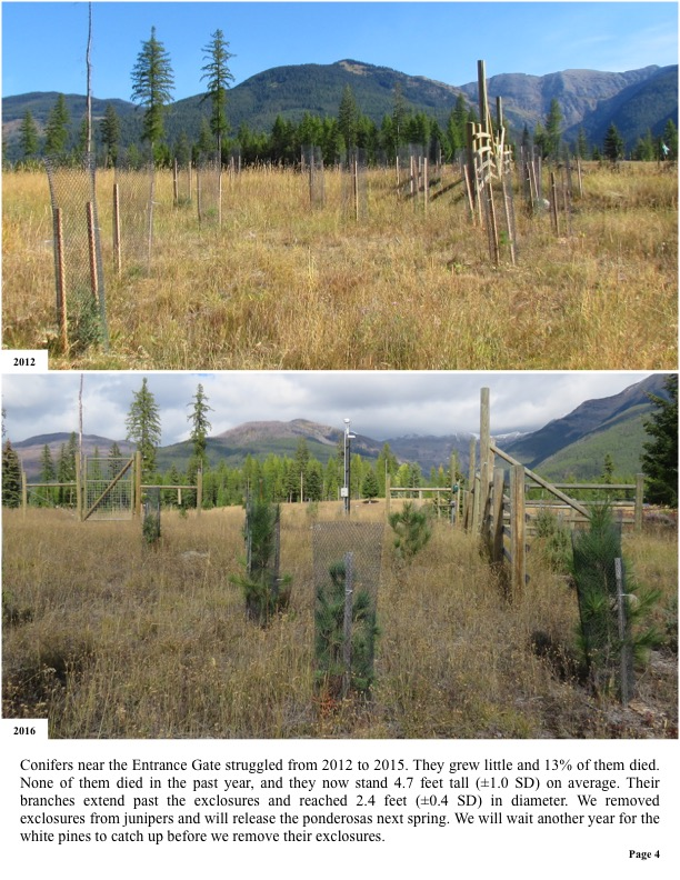 Conifers near the Entrance Gate struggled from 2012 to 2015.