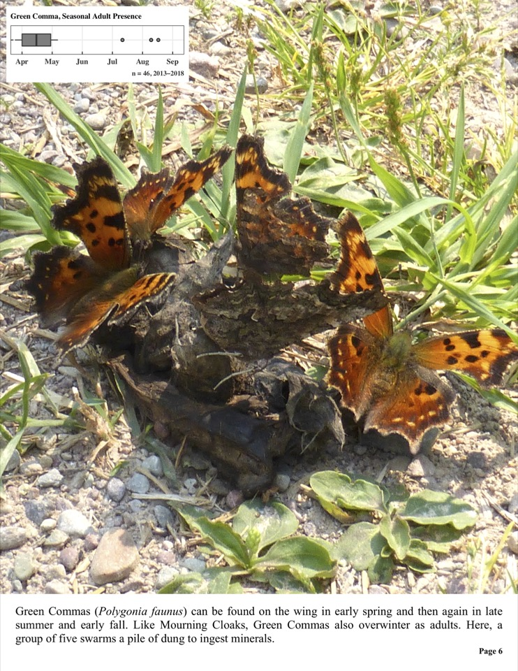 Green Commas (Polygonia faunus) can be found on the wing in early spring and then again in late summer and early fall