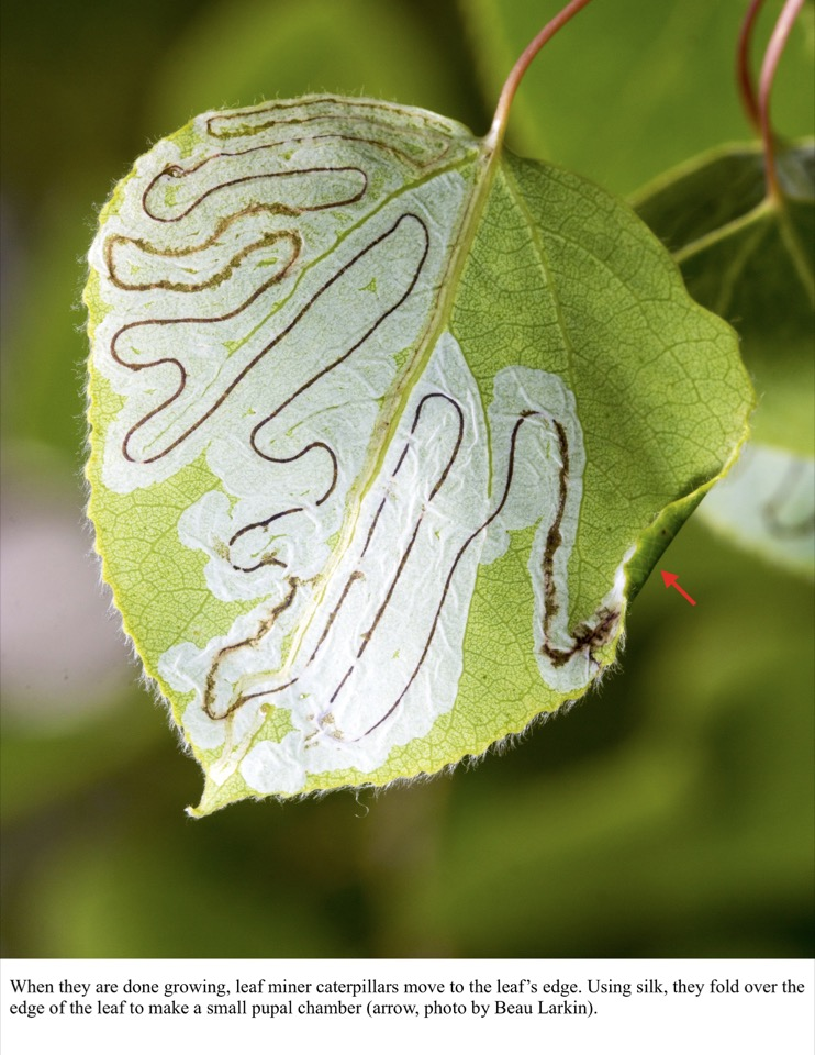 When they are done growing, leaf miner caterpillars move to the leaf's edge.