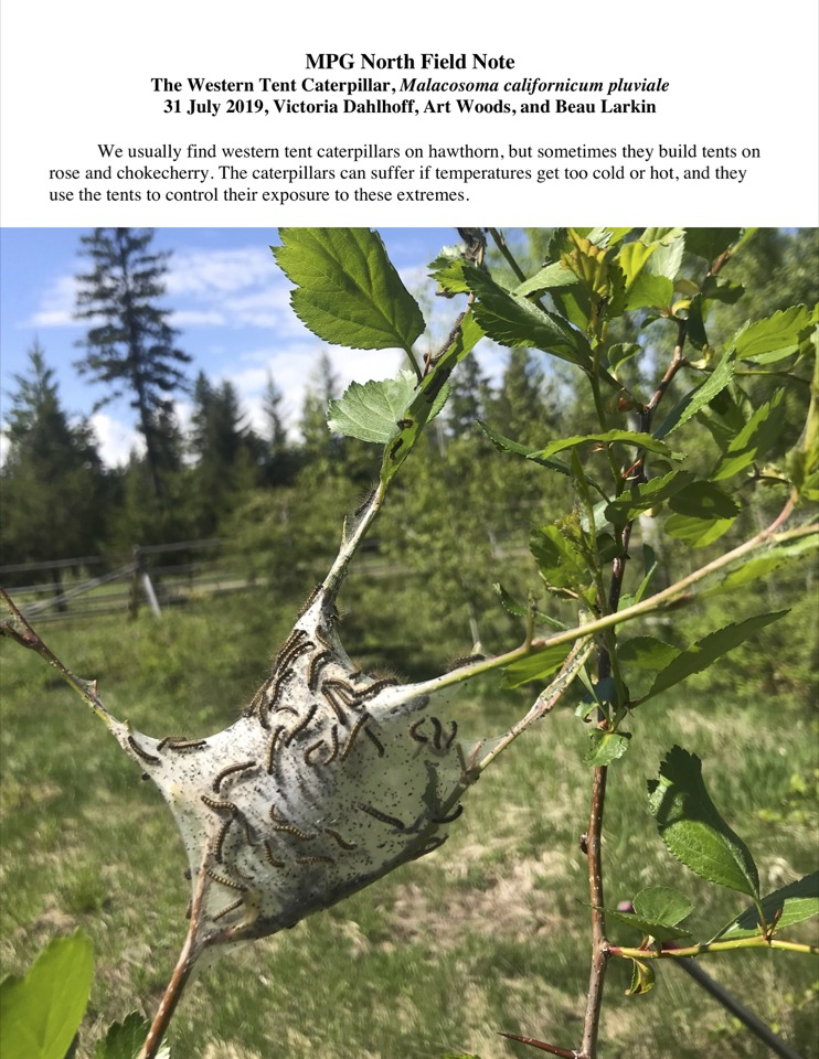 The caterpillars can suffer if temperatures get too cold or hot, and they use the tents to control their exposure to these extremes.