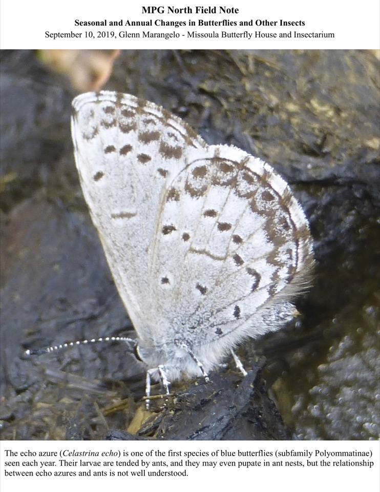 The echo azure (Celastrina echo) is one of the first species of blue butterflies (subfamily Polyommatinae) seen each year.