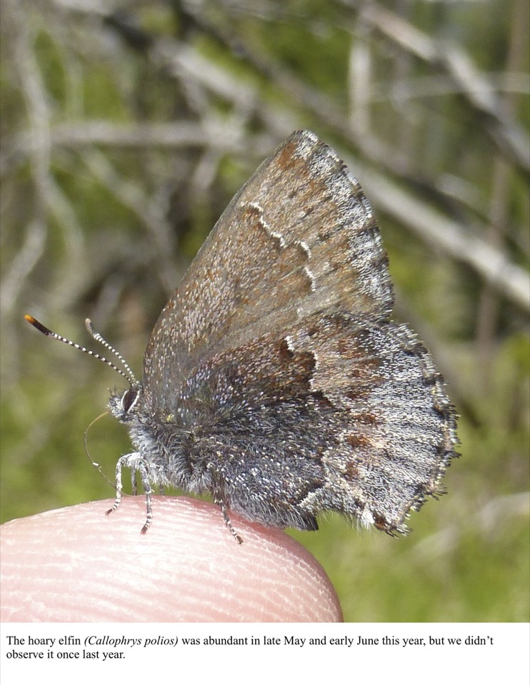 The hoary elfin (Callophrys polios) was abundant in late May and early June this year, but we didn't observe it once last year.