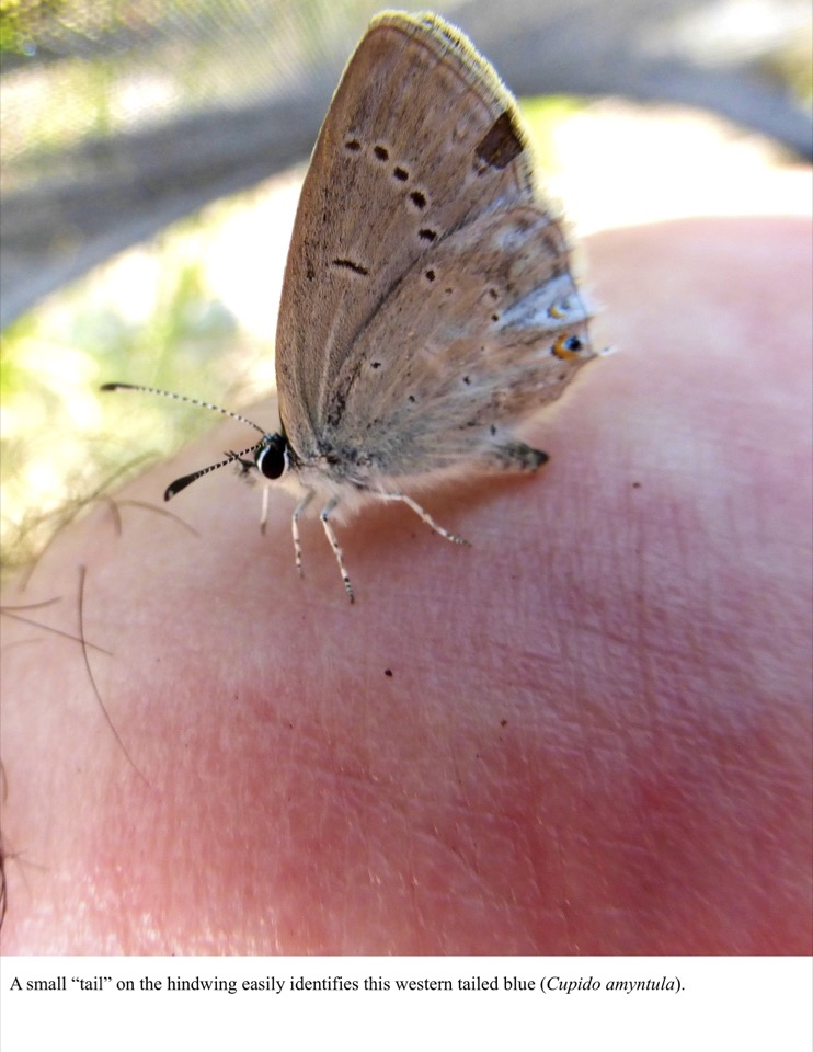 """A small """"tail"""" on the hindwing easily identifies this western tailed blue (Cupido amyntula)."""