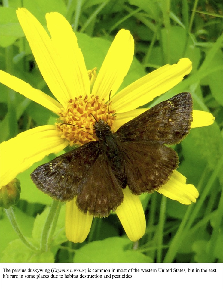 The persius duskywing (Erynnis persius) is common in most of the western United States, but in the east it's rare in some places due to habitat destruction and pesticides.
