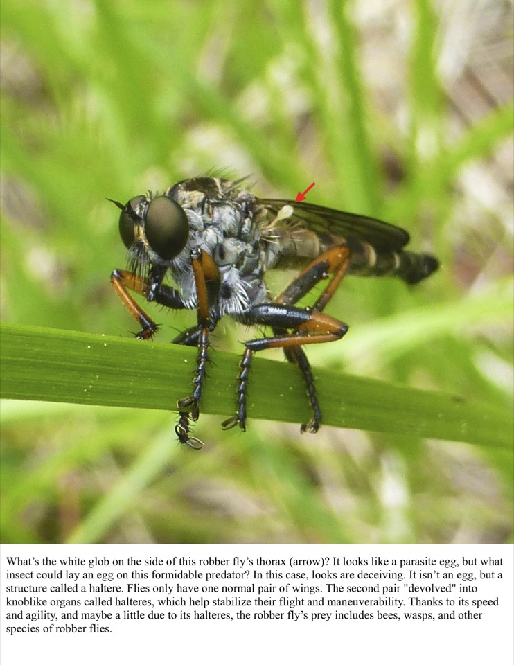 What's the white glob on the side of this robber fly's thorax (arrow)?