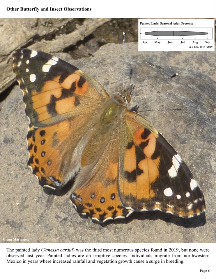 The painted lady (Vanessa cardui) was the third most numerous species found in 2019, but none were observed last year