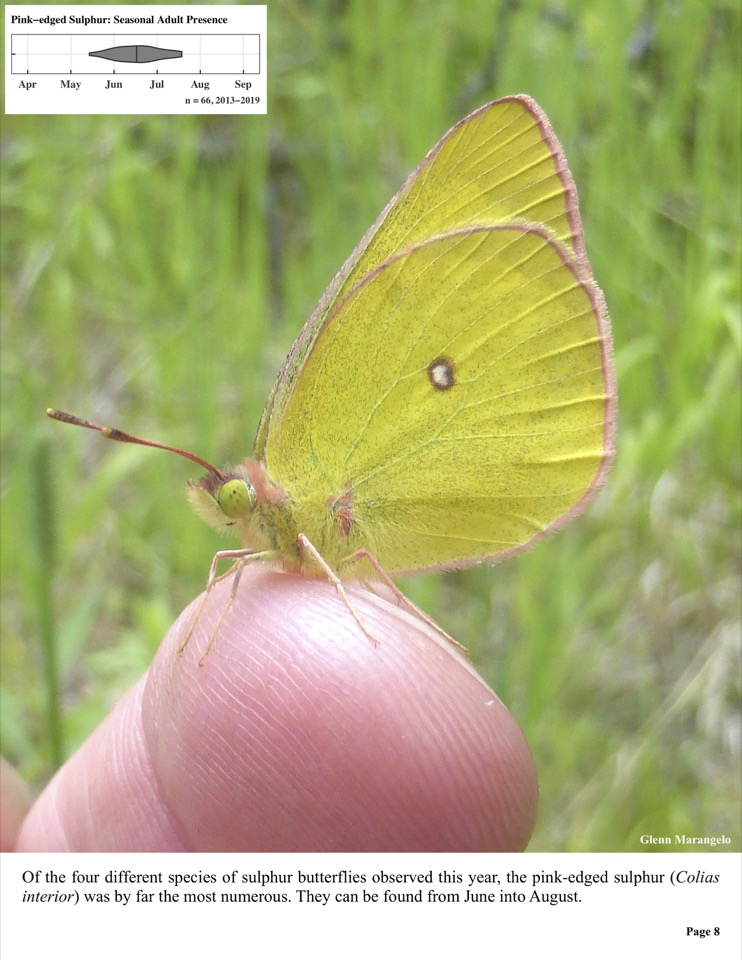Of the four different species of sulphur butterflies observed this year, the pink-edged sulphur (Colias interior) was by far the most numerous.