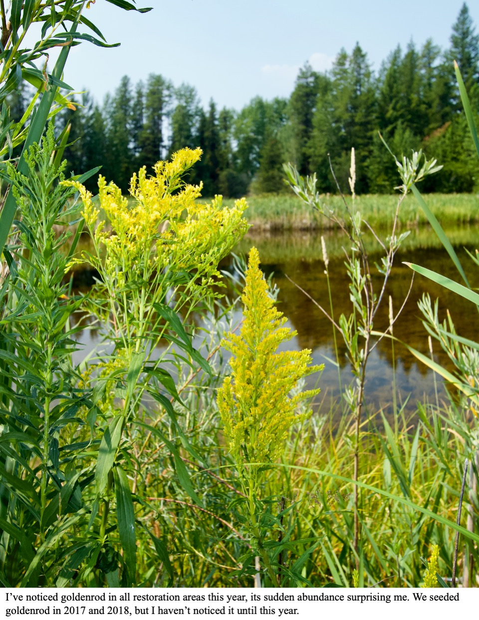 I've noticed goldenrod in all restoration areas this year, its sudden abundance surprising me.
