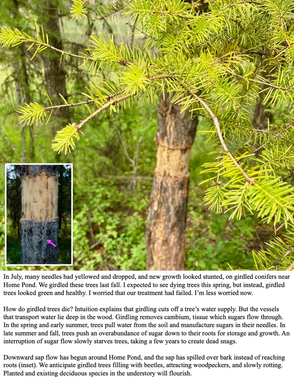 In July, many needles had yellowed and dropped, and new growth looked stunted, on girdled conifers near Home Pond.