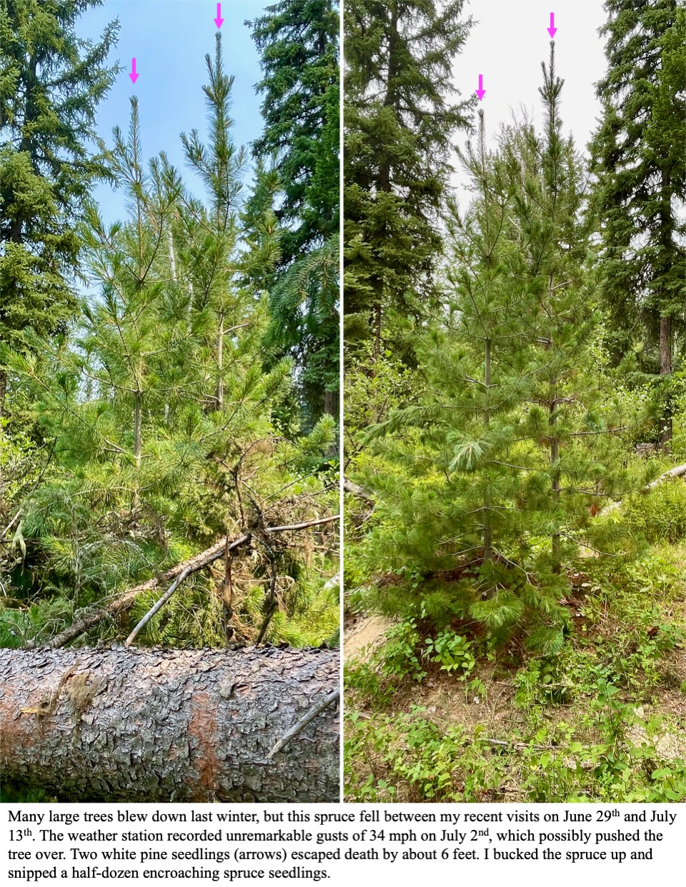 Many large trees blew down last winter, but this spruce fell between my recent visits on June 29th and July 13th