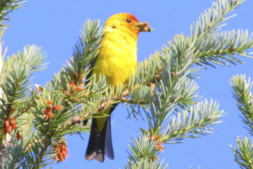 Western Tanager by Alan Ramsey