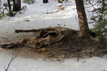 Above freezing temperatures thawed the two dead elk at MPG North.