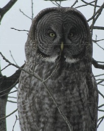 03-22-11 Field Note: Owls, Other Birds, and Bebb's and Sandbar Willows