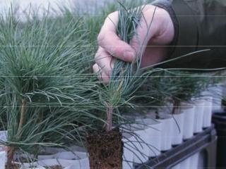 Western White Pine seedlings