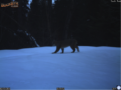 This bobcat walks down camp road on the evening of February 15th.