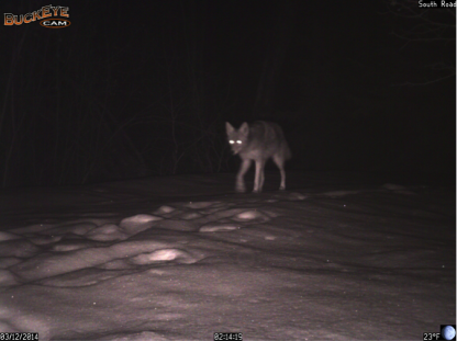 Within one hour, our Buckeyes captured both a coyote and a wolf walking down South Road. Both species commonly use trails and roads for easy movement.