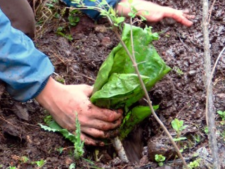 Skunk Cabbage Planting