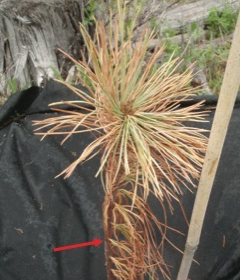 What happened to the White Pine seedlings?