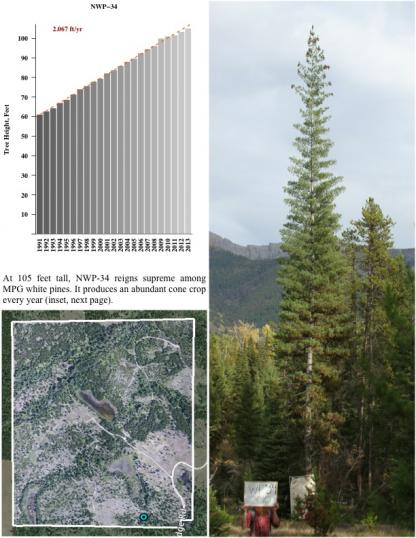 At 105 feet tall, NWP-34 reigns supreme among MPG white pines. It produces an abundant cone crop every year